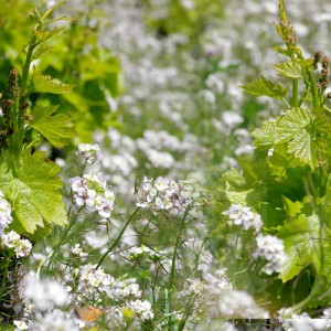 fond-printemps-vignes-DMM1.jpg