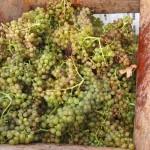 raisin blanc des vendanges au domaine monts et merveilles