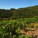 Vignes de Syrah à Cassagnoles (550m d'altitude)