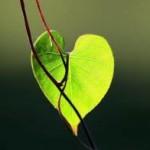 coeur feuille